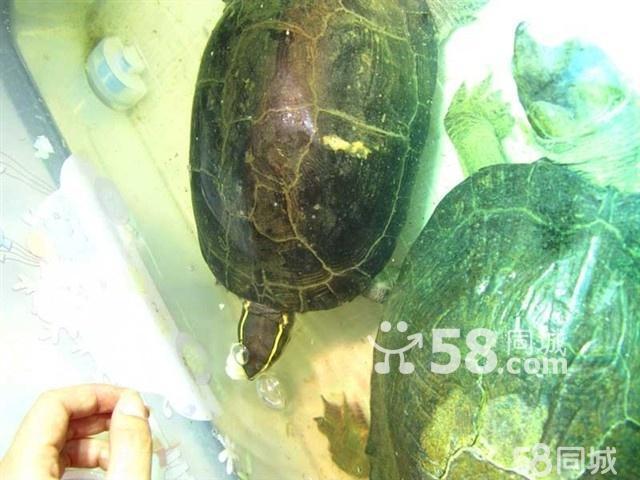 】肺鱼恐龙鱼龟鱼缸水族箱-恐龙鱼图片大全 恐龙鱼 版本历史